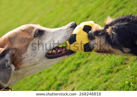 Tug of war between two dogs - stock photo