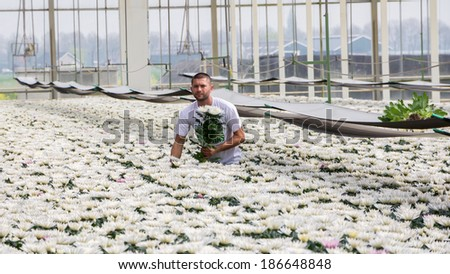 Tuil,Netherlands - april 05, 2014: Worker harvesting  colorful chrysanthemums in a greenhouse in Tuil