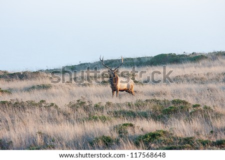 Tule elks in Point Reyes National Seashore, California - stock photo
