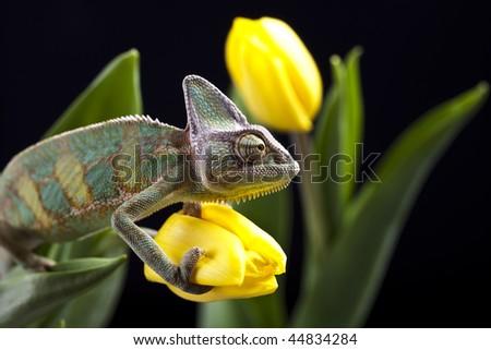 Tulip and Chameleon - stock photo