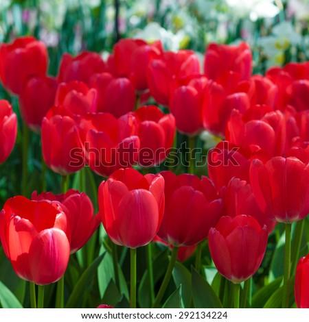 Tulip. Beautiful tulips. colorful tulips. tulips in spring,colourful tulip - stock photo