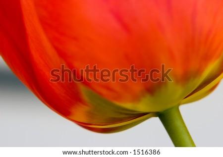 Tulip below - stock photo