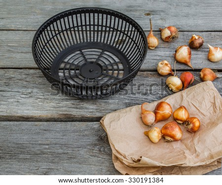 Tulip bulbs in a paper bag basket for planting bulbs on a wooden background - stock photo