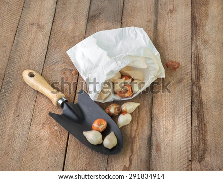 Tulip bulbs in a paper bag  on a wooden background - stock photo
