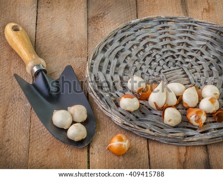 Tulip bulbs in the circle next to the wicker garden shovel on a wooden table - stock photo