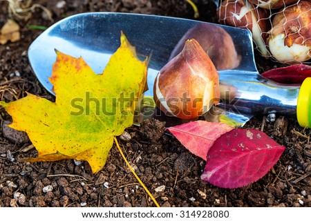 Tulip bulbs ready to plant in the home garden. - stock photo
