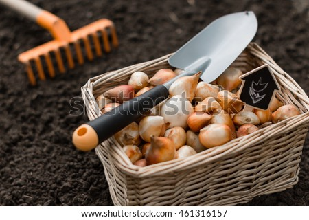 Tulip  bulbs stored in the boxes with shovel on it and carried out for planting , cleaned and prepared flower bulbs ,  agriculture and gardening concept