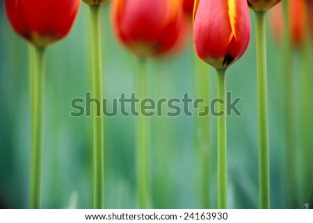 Tulip close-up - stock photo