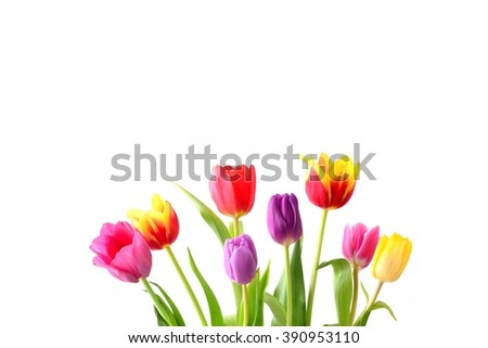 Tulip. Color tulips, bouquet of tulips, tulips isolated, tulips in bouquet, beautiful tulips, colorful tulips,  tulips petals, tulips on white, isolated tulips on white background. Tulips for card. - stock photo