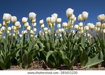 Tulip culture, Holland - stock photo
