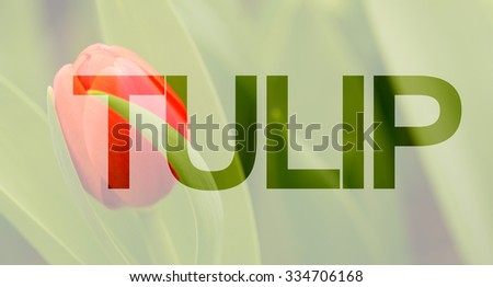 Tulip design advertisement, Selective path embedded - stock photo