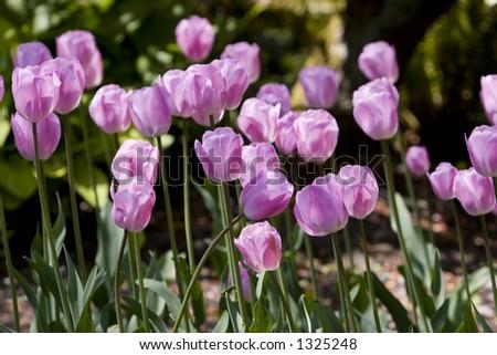 tulip field - stock photo