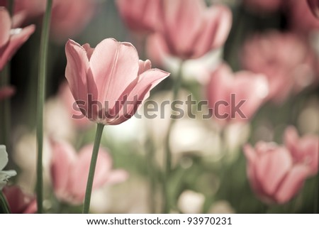 tulip field close up, single flower in focus, soft color - stock photo