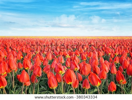 tulip field covered with hoarfrost at sunrise - stock photo