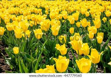 Tulip field. Field with yellow tulips. Group of yellow tulips in the park. Spring landscape. - stock photo