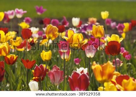 Tulip field in Lower Saxony, Germany, Europe  - stock photo