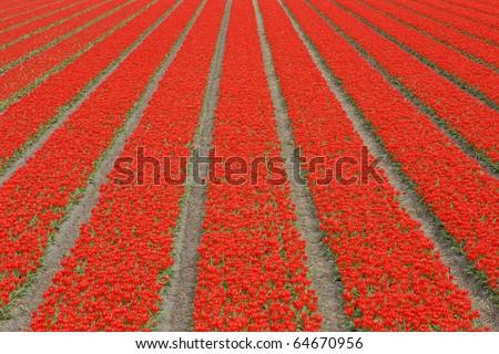 tulip field near Noordwijk, Netherlands - stock photo