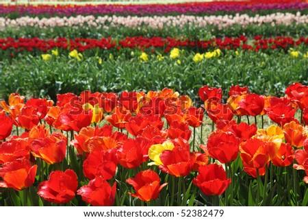 Tulip field on the farm in Holland Michigan - stock photo