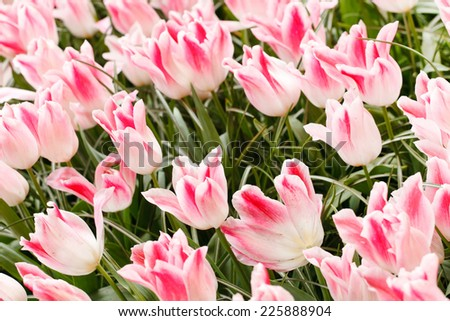 tulip fields - stock photo