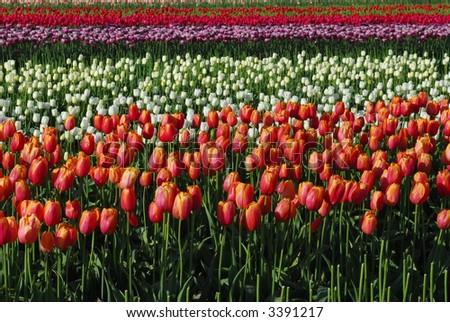 Tulip Fields - stock photo
