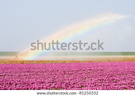 Tulip fields in the Netherlands are irrigated with a bright rainbowe - stock photo