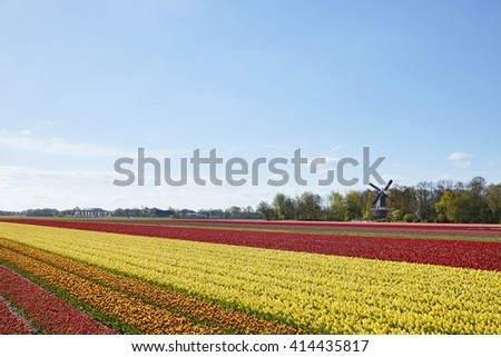 Tulip fields with windmill in spring near the town of Lisse, the Netherlands