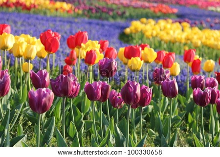 Tulip flower field - stock photo