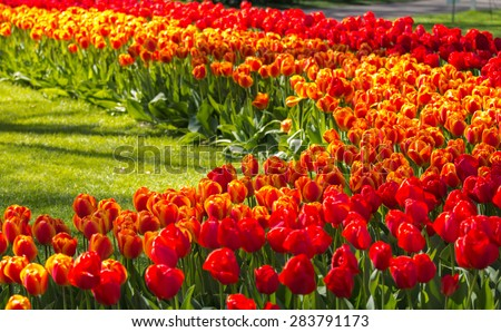 Tulip flower field blooming in the garden