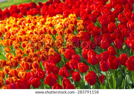Tulip flower field blooming in the garden with soft sunlight - stock photo