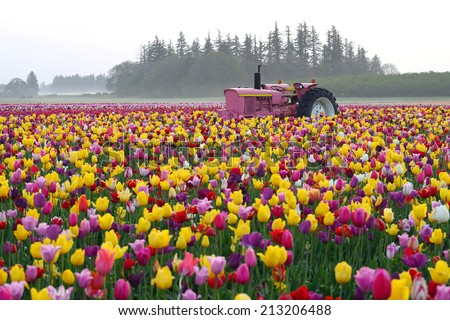 tulip flower field in oregon with a tractor - stock photo