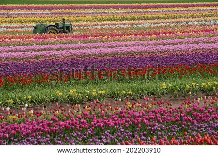 tulip flower field in woodburm oregon with a tractor - stock photo