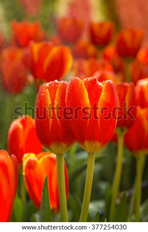 Tulip Flower in a garden with drop and spary - Multicolor - stock photo