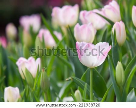 tulip flower in the garden - stock photo