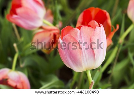 Tulip flower is blooming in the new season in Rayong, Thailand. - stock photo
