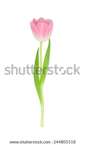 Tulip flower isolated on white background with clipping path - stock photo