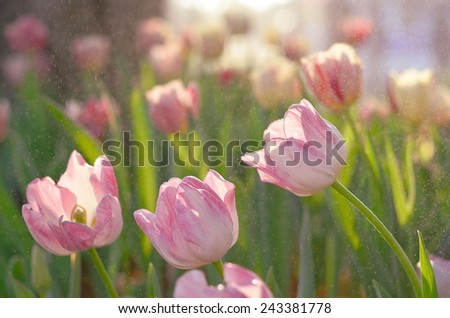 tulip flower made with color filter   - stock photo