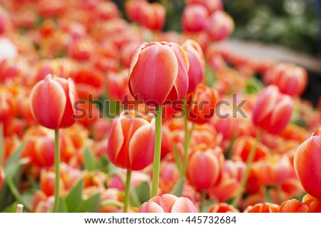 Tulip flower orange is blooming in the new season in Rayong, Thailand. - stock photo