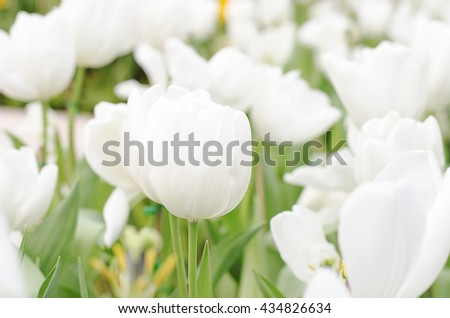 Tulip flower white colour is blooming in the new season in Rayong, Thailand. - stock photo