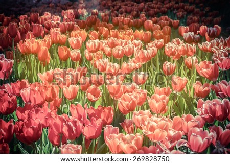 Tulip flowers and light,flower background - stock photo