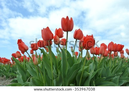 Tulip flowers beautiful background