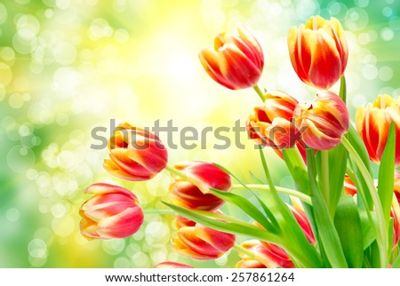 tulip flowers close up