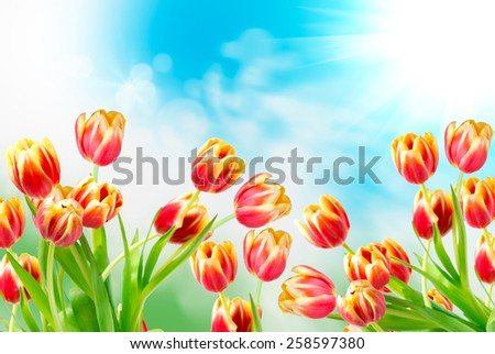 tulip flowers close up - stock photo