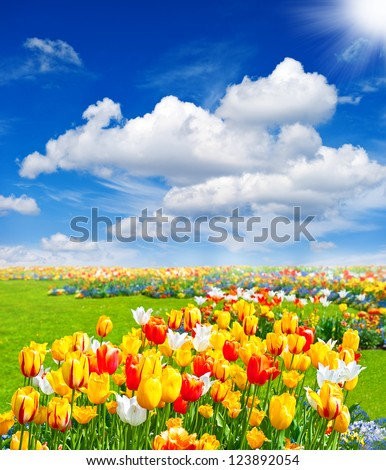 tulip flowers field. spring landscape with blue sunny sky - stock photo
