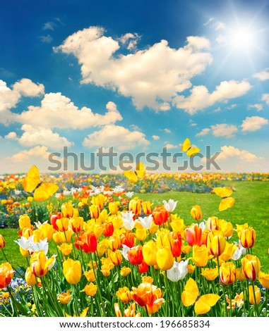 tulip flowers field with butterflies and sunny blue sky. summer nature background