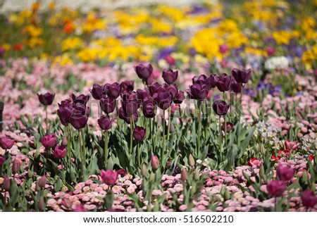 Tulip flowers in full bloom at annual flower show in Canberra, Australia