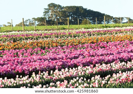 Tulip flowers in full bloom at Table Cape, north west agricultural region of Tasmania, Australia