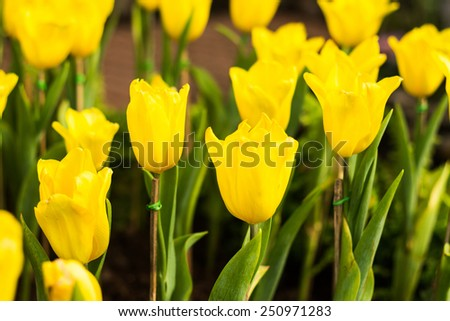 Tulip flowers in garden
