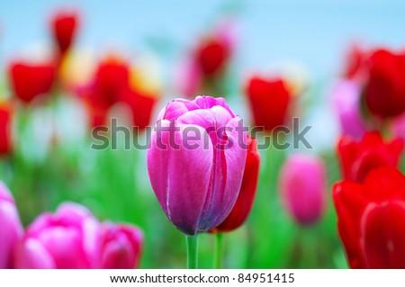 Tulip flowers in nature concept - stock photo