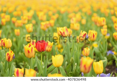 Tulip flowers in the garden, detail