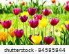 Tulip flowers in the park - stock photo